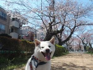 ルナちゃん桜-thumb-550x412-1035
